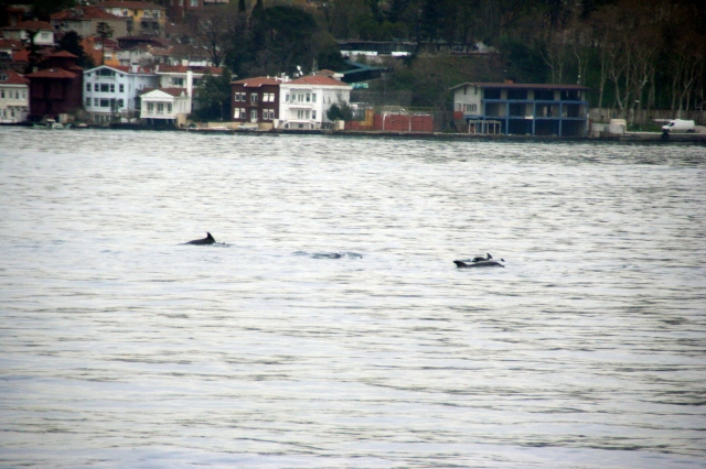 Dolphins in the Bosphorus!